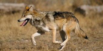 1621px-Canis_lupus_baileyi_running